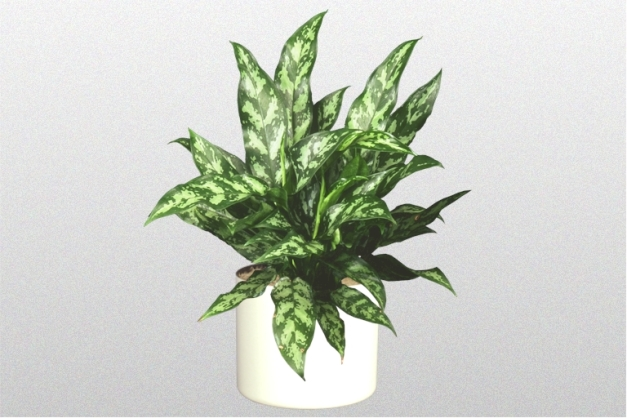 "Aglaonema ""Emerald Beauty"""