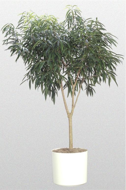 FicusAliiStandard14