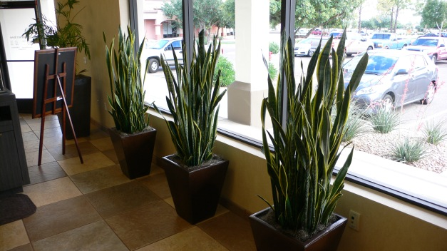 Row of Snake Plants