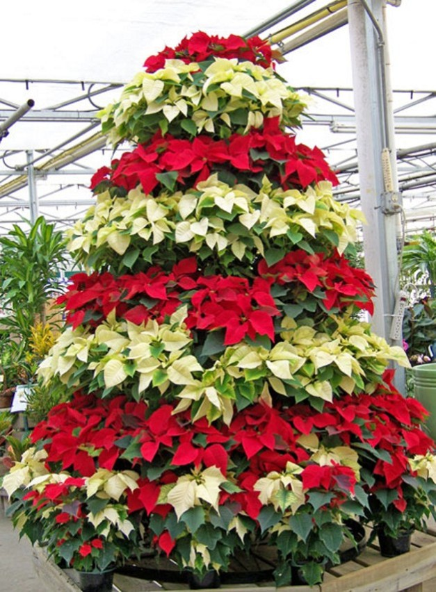 Multi-color Poinsettia Tree