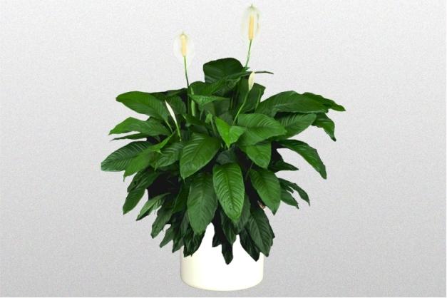 SpathiphyllumLynise10