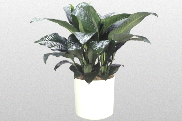 SpathiphyllumSensation10