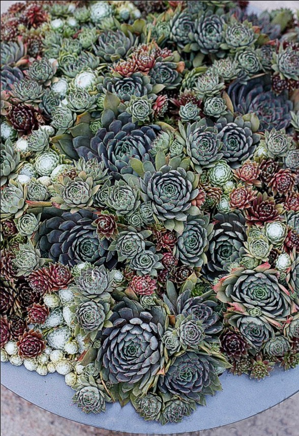 Display 4. Dense selection of various Hen-and-Chicks (sempervivum tectorum or Echeveria elegans), with Purple Rose and Kiwi varieties included.