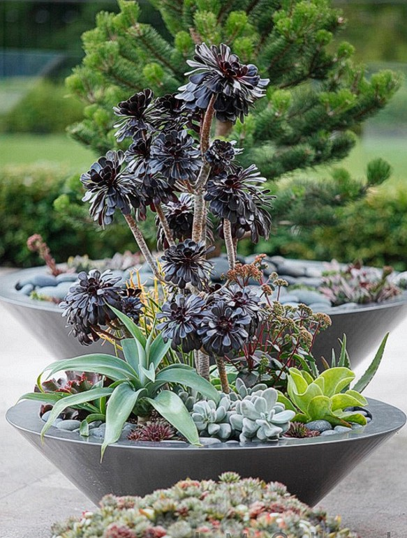 "Display 7. Bowl gardens make an interesting visual centerpiece. Tall Aconium arboreum ""Schwartzkopf"" are surround by other succulents with contrasting colors and geometries."