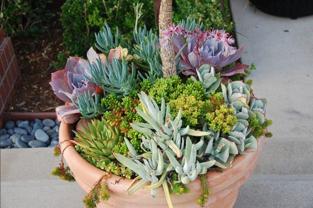 Display 3. Succulent garden in terracotta container with  including Blue Pencils, Hobbit (red tips), Hen-and-Chicks, and others.