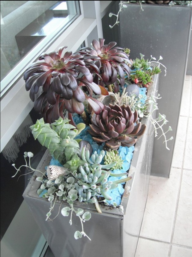 "Display 1. Indoor succulent garden bedded in blue glass pebbles, featuring the purple ""Schwartzkopf"" Aconium arboreum (rounded leaves) and the Hen-and-Chicks (pointed leaves)."